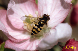 Arthropod Pest Problems in Pome Fruit Production